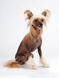 Chinese Crested Dog female Stock Photo