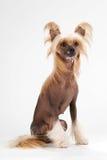 Chinese Crested Dog female Stock Photos