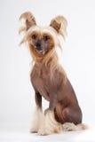 Chinese Crested Dog female Royalty Free Stock Photos