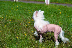 Chinese crested dog in field. Royalty Free Stock Photography