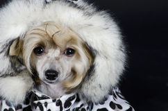 Chinese Crested dog. Funny Chinese Crested dog (Powderpuff variety, puppy) wearing a spotted winter costume (on a black background royalty free stock images