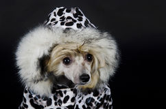 Chinese Crested dog. Funny Chinese Crested dog (Powderpuff variety, puppy) wearing a spotted winter costume (on a black background stock images