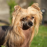 Chinese Crested Dog in the garden Stock Images