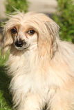 Chinese Crested Dog in the garden Stock Photos