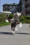 Chinese crested dog Royalty Free Stock Photo
