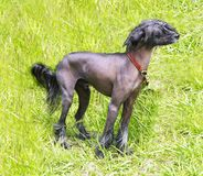 Chinese Crested Dog on green grass. Royalty Free Stock Photo