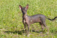 Chinese Crested Dog. On green grass stock photo