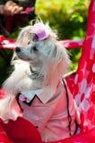 Chinese Crested Dog Stock Image
