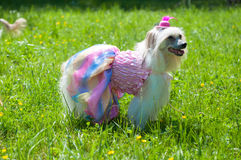 Chinese Crested Dog. Groomed Chinese Crested Dog - Powderpuff, three years month old stock images