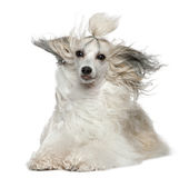 Chinese Crested Dog with hair in the wind. 2 years old, in front of white background Stock Image