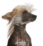 Chinese Crested Dog with hair in the wind. Close-up of Chinese Crested Dog with hair in the wind, 7 years old, in front of white background Stock Photo