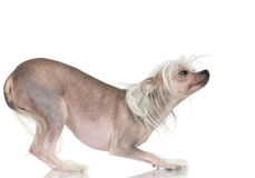 Free Chinese Crested Dog - Hairless Royalty Free Stock Images - 2671629