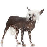 Chinese Crested Dog - Hairless Stock Photography
