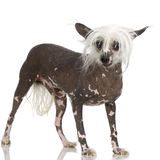 Chinese Crested Dog - Hairless Royalty Free Stock Photography
