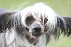 Chinese crested dog Hairless dog Stock Images