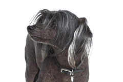 Chinese Crested dog. Chinese crested hairless dog isolated on white background stock images