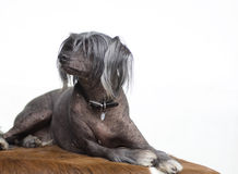 Chinese Crested dog. Chinese crested hairless dog laying isolated on white background stock images