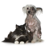 Chinese Crested Dog - Hairless and maine coon. Chinese crested dog Hairless and maine coon in front of a white background Royalty Free Stock Photo