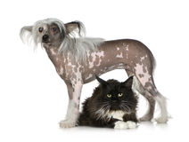 Chinese Crested Dog - Hairless and maine coon. Chinese crested dog Hairless and maine coon in front of a white background Stock Photography