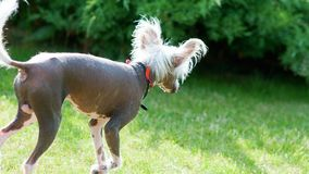 Chinese Crested dog. Chinese Crested hairless dog in a sun with green yard in background stock photography