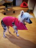 Chinese crested dog. In Homemade dress stock photography
