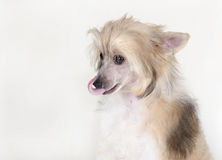 Chinese Crested dog. With a long tongue (Powderpuff variety, puppy) isolated on white royalty free stock photo