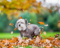Chinese Crested Dog looking sad in falling autumn fall leaves. A mostly hairless dog in a park, countryside meadow or field of grass. green background. clear stock photography