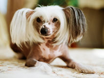 Chinese Crested Dog  lying Royalty Free Stock Images