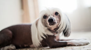 Chinese Crested Dog  lying Stock Images