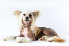 Chinese crested dog lying portrait Stock Image