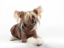 Chinese Crested Dog male