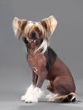 Chinese Crested Dog male Royalty Free Stock Images