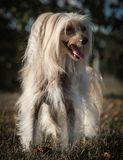 Chinese Crested Dog. Nice Chinese Crested dog in the park stock photos