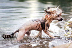 Chinese crested dog. In park royalty free stock photo