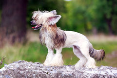 Chinese crested dog Stock Images