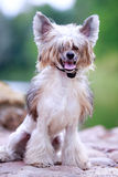 Chinese crested dog. In park royalty free stock photography