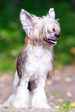 Chinese crested dog. In park stock photo