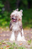 Chinese crested dog. In park stock photography