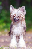 Chinese crested dog. In park royalty free stock images