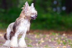 Chinese crested dog. In park royalty free stock photos