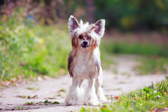 Chinese crested dog. In park Stock Images