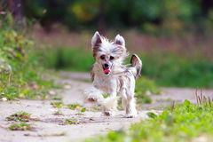 Chinese crested dog. In park royalty free stock image