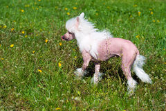 Chinese crested dog in park. The Chinese crested dog walks on the grass of the park stock photo
