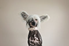Chinese Crested Dog with Pearls. A chinese crested dog wearing a cute pastel collar with pearls royalty free stock photo
