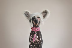 Chinese Crested Dog with Pink Collar Royalty Free Stock Image