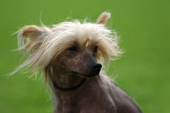 Chinese Crested Dog-portrait Stock Images