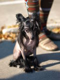 Chinese Crested Dog portrait. The Chinese Crested Dog portrait stock images