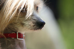 Chinese Crested Dog portrait Stock Photography