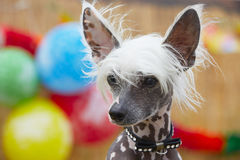 Chinese crested dog. Portrait of chinese crested dog - copy space stock image