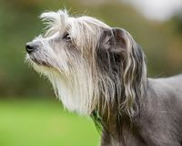 Chinese Crested Dog portrait of face looking to the side stock image